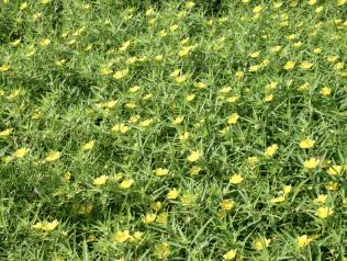 De si jolies petites fleurs jaunes, de Jacques Péneau